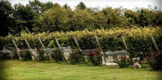 vineyard, bird netting, protection