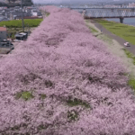 OITA CITY SAKURA