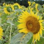 拍照向日葵的時候,要小心花的方向