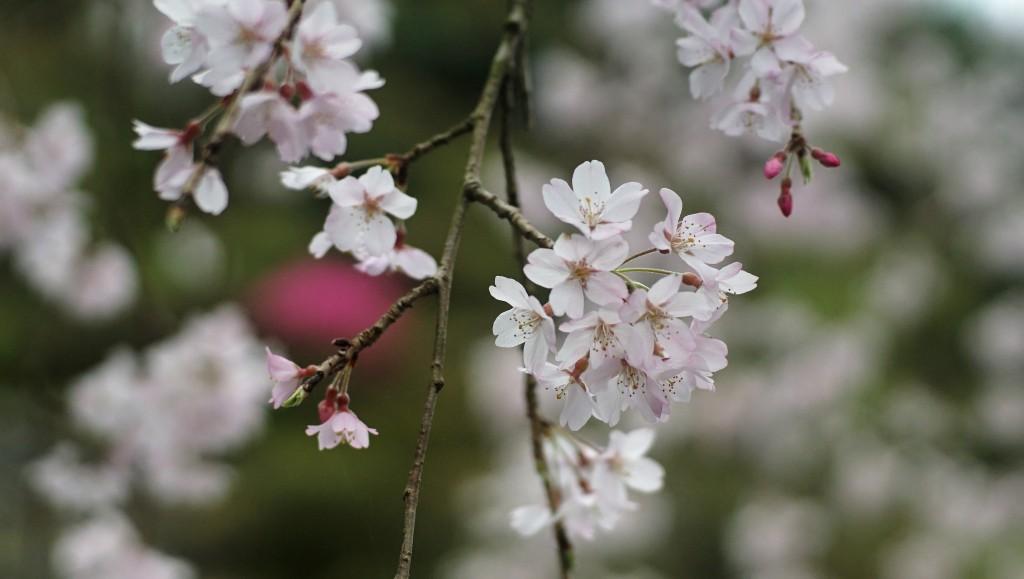 青梅市海禅寺のシダレ桜をソニーα6000で撮ってきました