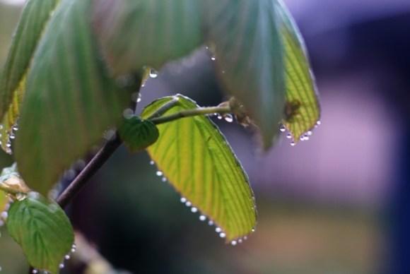 トサミズキの水滴