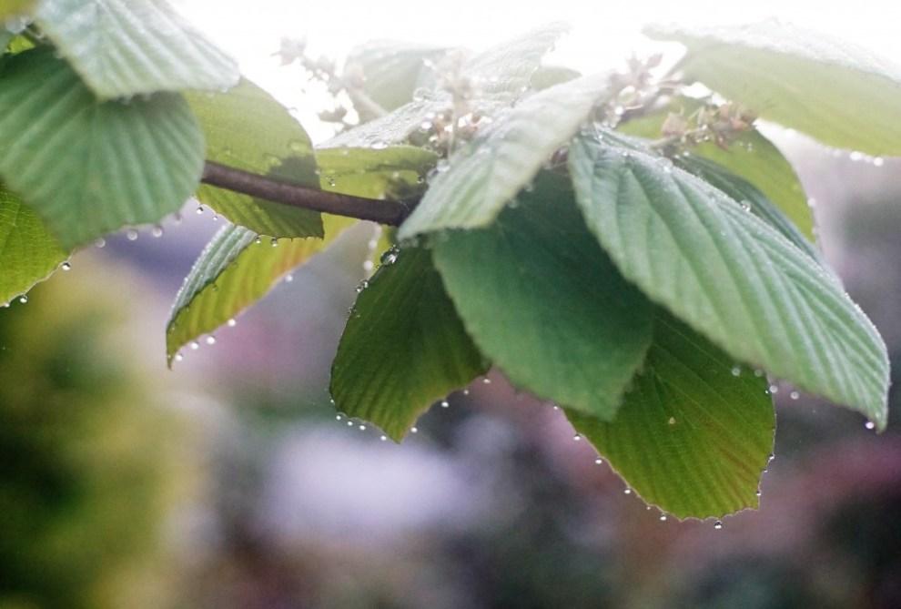 マスカラしたトサミズキの葉
