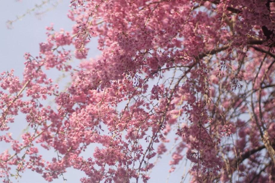 砂川堀枝垂れ桜