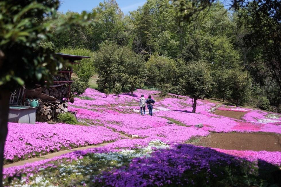 狭山丘陵 芝桜