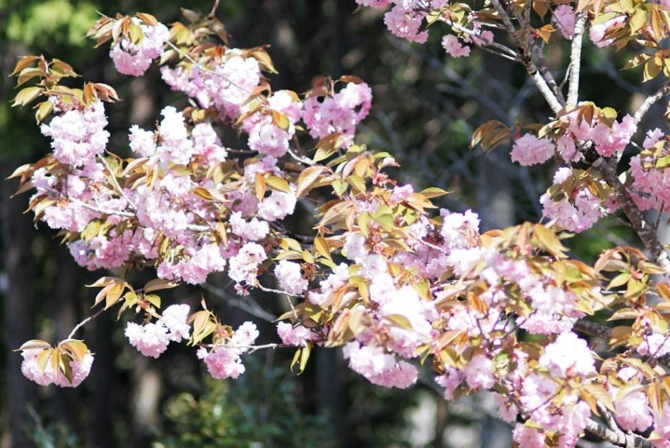 小河内神社桜
