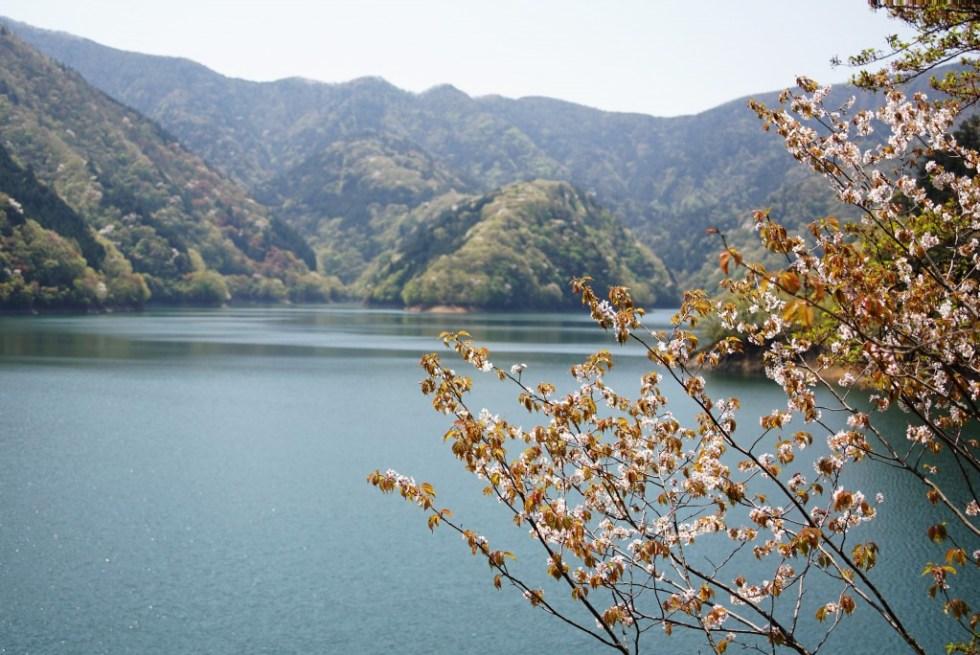 奥多摩湖 桜