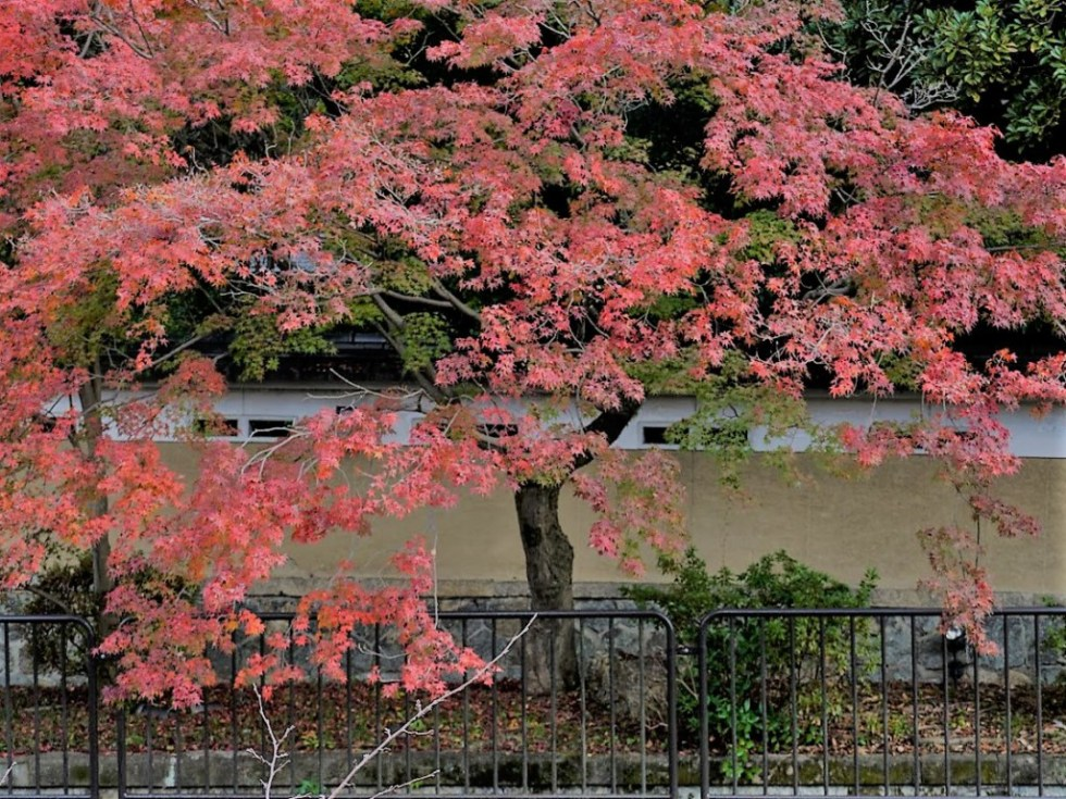 琵琶湖疏水脇の紅葉