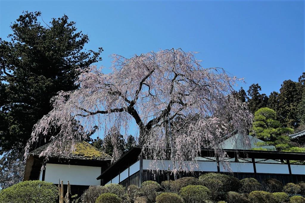 桜撮影の穴場のご紹介 東京都青梅市 安楽寺