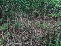 Cette espèce de bambou est vieille de 400 millions d'années.JPG