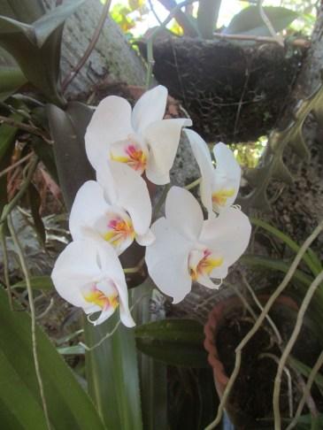 Orchidées chez Guylaine Photo Annik Chalifour.JPG