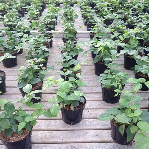 Potted-jasmine-plants-photo-by-Chevonne-Carlow-web-0542bbd24d80b50e5ae76fb3bce0116f0e360896