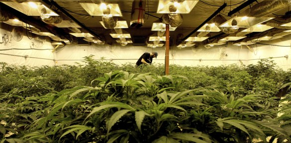 Culture du cannabis au Colorado.