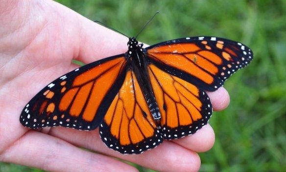 Faut-il aider le papillon monarque à migrer vers le Sud? (Photo: Publicdomainpictures — http://bit.ly/2yqD9aN)