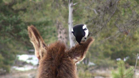 La «personnalité» joue un rôle important dans l'interaction des animaux. (Photo: Robert Found de l'Université de l'Alberta)