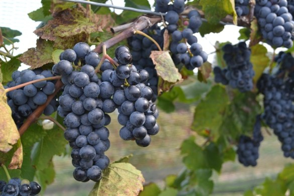 Wine-grapes-in-Niagara-web-71e500a49ddcd98b7ab37139c710cdb52cb2ad5e