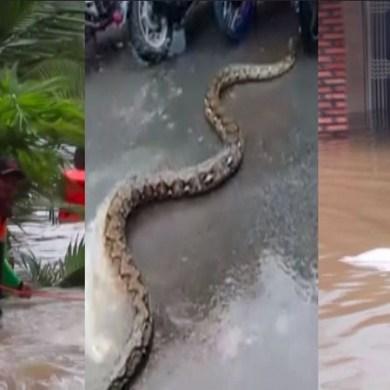 Un gigantesque python dans les rues de Jakarta après les pluies ce week-end
