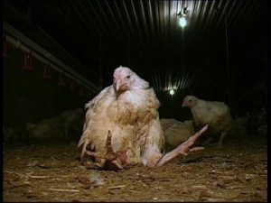 661651864-free-run-force-feeding-of-chickens-chicken-factory-factory-farming
