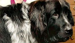 Giant dog (Canadian Press)