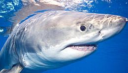 Great White shark (iStockphoto)