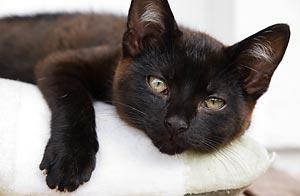 La mayoría evita los gatos negros porque cree que traen mala suerte / Foto: Shutterstock