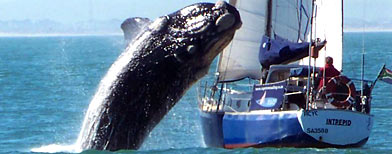 Whale jumps on yacht (Courtesy Paloma Werner)