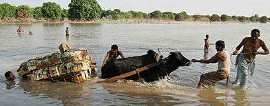 Pakistani men help a cow carrying crates of mangos cross a flooded area. (AP Photo/Aaron Favila)