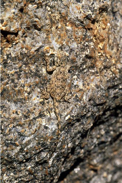 Un lagarto agama escondido en el Suroeste de Namibia. Foto: Geoff Trinder / ARDEA / CATERS NEWS