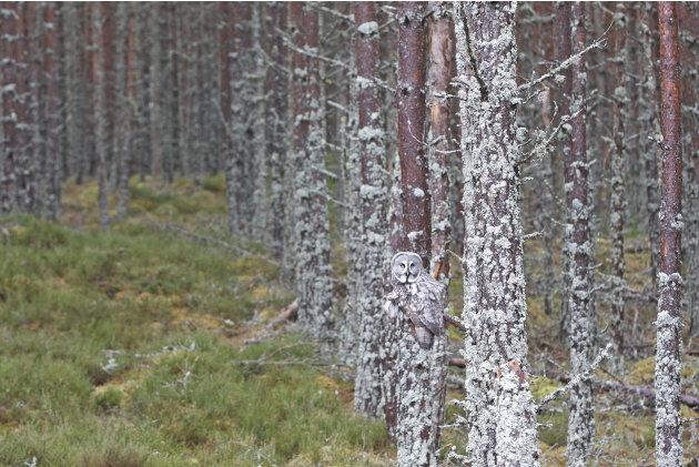 Un gran búho gris posado en una rama. Foto: M. Watson / ARDEA / CATERS NEWS