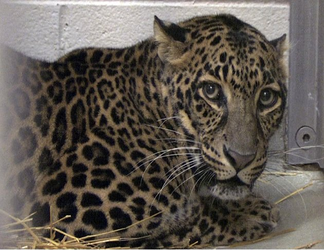 This photo provided by the Columbus Zoo and Aquarium shows one of three leopards that were captured by authorities Wednesday, a day after their owner released dozens of wild animals and then killed hi
