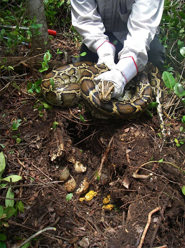 In this 2009 photo provided by the University of Florida a researcher holds a Burmese python near her nest in Everglades National Park, Fla. The National Academy of Science report released Monday, Jan