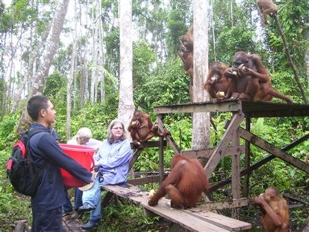 Birute Mary Galdikas, the founder of Orangutan Foundation International (OFI), visits a feeding station at OFI's orangutan care and quarantine centre in Pangkalan Bun in the province of Central Kalimantan in this undated handout photo courtesy of InfiniteEARTH.