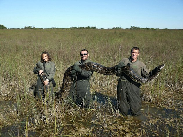 In this November 14, 2009 photo provided by the University of Florida, University of Florida researchers hold a 162-pound Burmese python captured in Everglades National Park, Fla. Therese Walters, lef