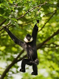A Conservation International photo shows a northern white-cheeked crested gibbon (Nomascus leucogenys) in an undisclosed location in Vietnam