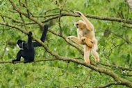A Conservation International photo of northern white-cheeked crested gibbons (Nomascus leucogenys), including an adult female with baby (R) and adult male (L) in an undisclosed location in Vietnam
