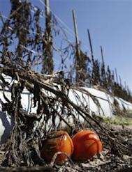 FILE - In this March 4, 2010 file photo, ripe tomatoes are left to rot in the dirt in a field in Plant City, Fla. Wholesale prices rose more than expected last month as food prices surged by the most in 26 years. A cold snap wiped out much of Florida's tomato and other vegetable crops at the beginning of this year.(AP Photo/Chris O'Meara, file)
