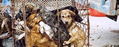 Más de 30.000 perros son traficados al mes desde Tailandia con destino a los restaurantes de Vietnam. En Ciudad de Ho Chi Minh, antigua Saigón, hay unos 175 establecimientos que incluyen en su menú diversos platos hechos con perro/ EFE