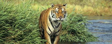 A Bengal tiger walks near the edge of a river in India. (Thinkstock)