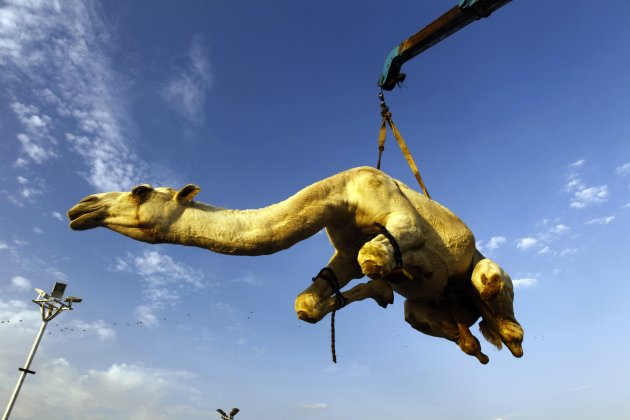 A camel that was purchased by a customer is lifted to be placed in a vehicle at a camel market near Riyadh