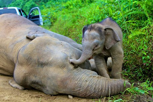 A pygmy elephant calf walks next to its dead mother in Gunung Rara Forest Reserve in the Malaysia's Borneo island