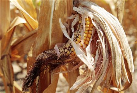 Corn plants are seen in a drought-stricken farm field near Evansville