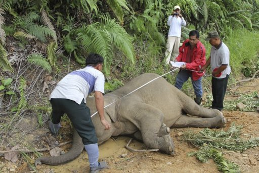 Malaysia's wildlife officials inspects the dead pygmy elephant in Gunung Rara Forest Reserve in the Malaysia's Borneo island