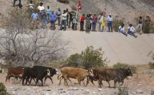 Protesters watch as cattle that belonged to rancher…