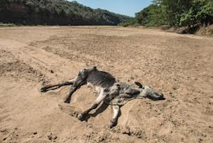 The carcass of a dead cow lies in the Black Umfolozi…