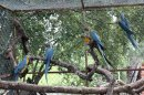 In this March 2013 photo released by the Noel Kempff Mercado Foundation, macaws perch on trunks inside a caged breeding center in the Amazon near the city of Trinidad, in the state of Beni, Bolivia. These birds are of the six endangered macaws flown from Britain to Bolivia in hopes that they can help save a species devastated by the trade in wild animals, international conservation experts said Tuesday, March 13, 2013. The birds, with blue wings and a yellow breast, arrived last week at the conservation center in northeastern Bolivia, close to their natural habitat, and the local Noel Kempff Foundation said it hopes to breed or release them. (AP Photo/Jose Diaz, Noel Kempff Mercado Foundation)