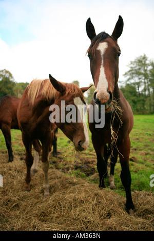 fressende Pferde eating horses Stock Photo Royalty Free