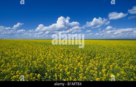 Canola field in Saskatchewan, Canada Stock Photo, Royalty ...