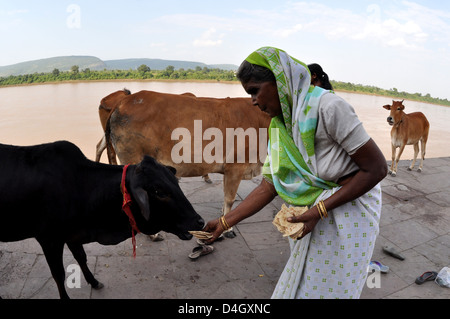 Indian woman feeding cattle feed to buffalo Jodhpur
