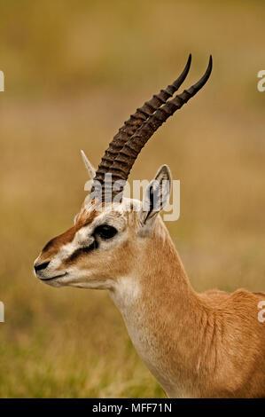 THOMSON'S GAZELLE Gazella thomsoni close up of the feet and hooves Stock Photo: 279563646 - Alamy