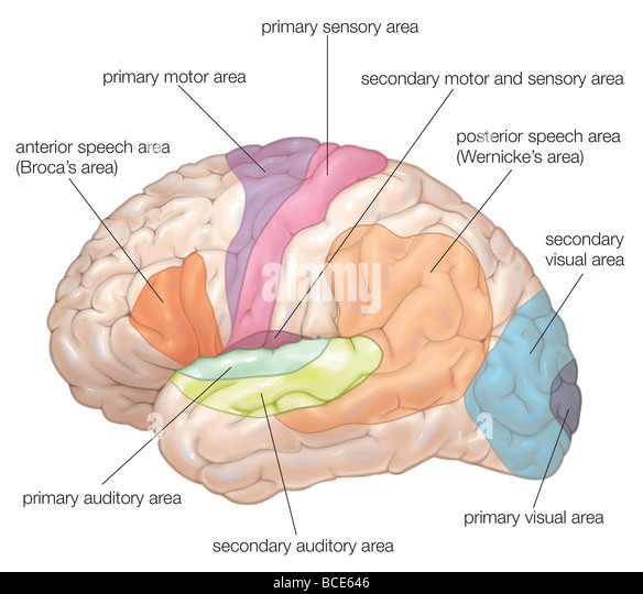 Diagram of the lateral view of the human brain, showing ...