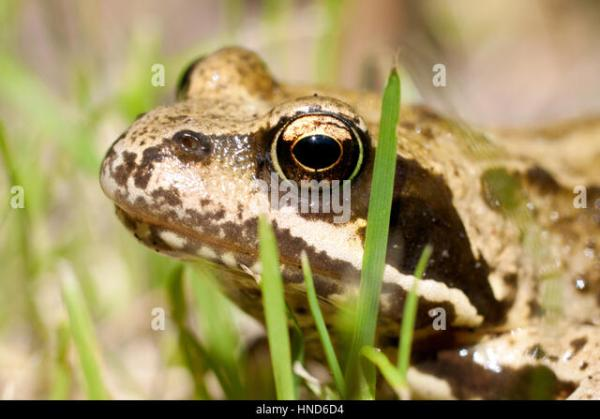 common garden frog Common Frog Garden Stock Photos & Common Frog Garden Stock